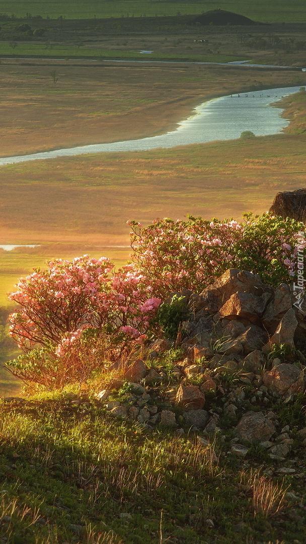 Różanecznik przy skałach