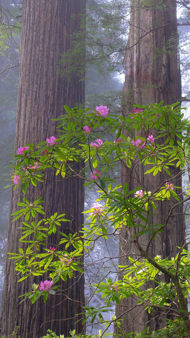 Różanecznik w lesie