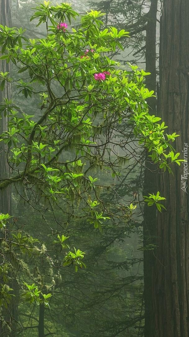 Różanecznik w zamglonym lesie