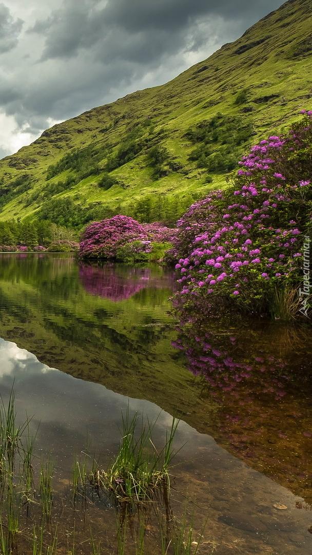 Różaneczniki na brzegu jeziora Lochan Urr