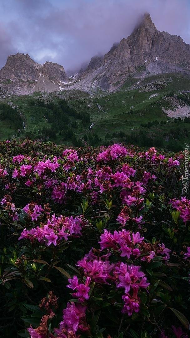 Różaneczniki na tle gór