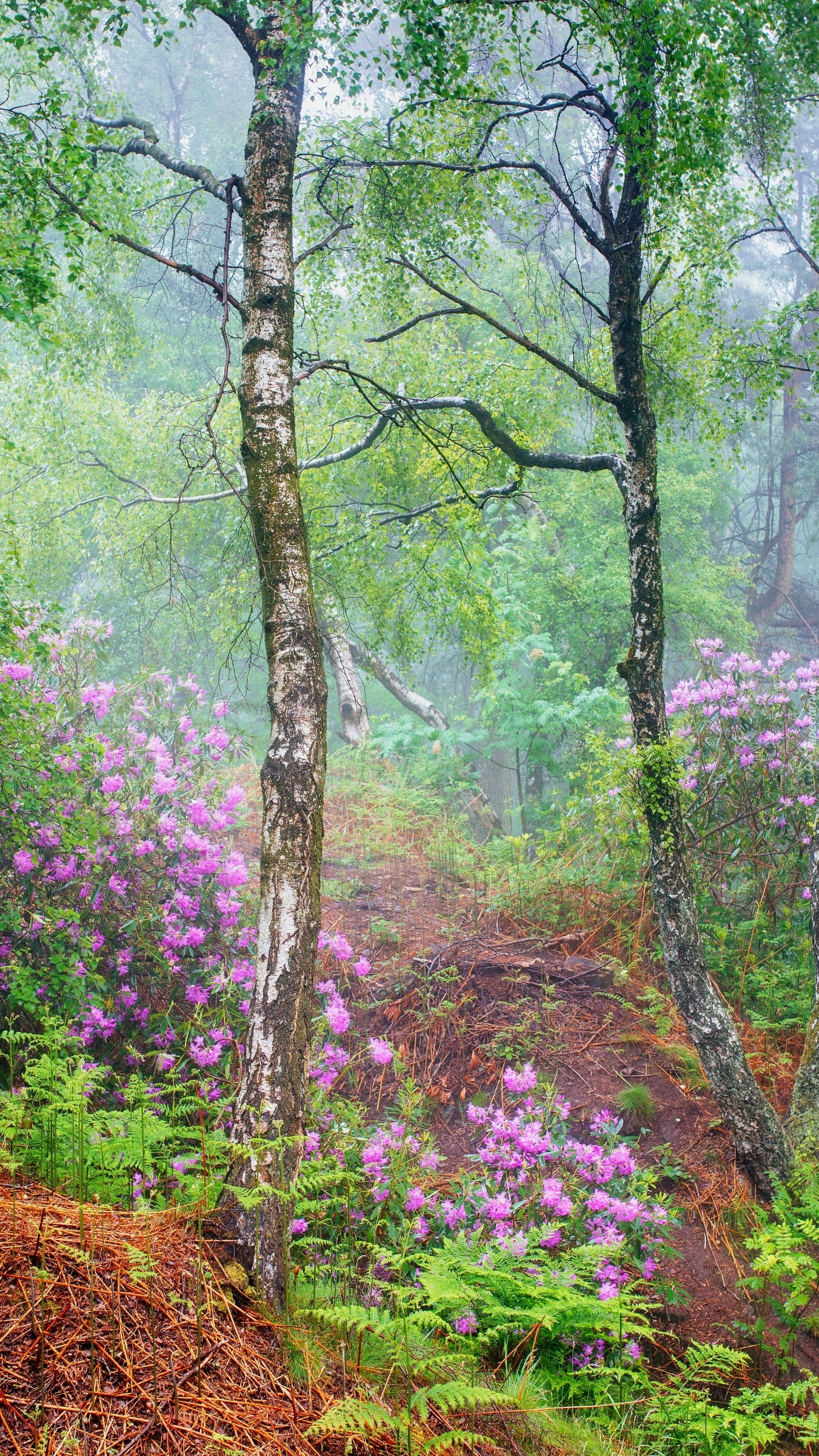 Różaneczniki w brzozowym lesie