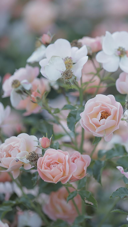 Różany krzew