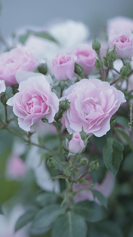 Róże kwitnące na krzewie