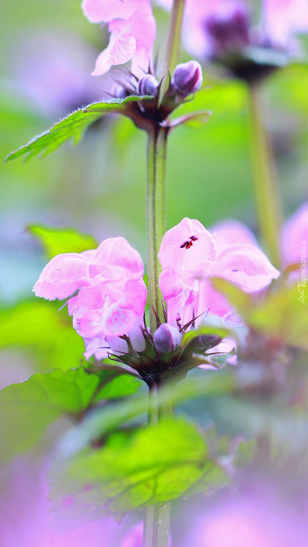 Rozkwitająca jasnota purpurowa