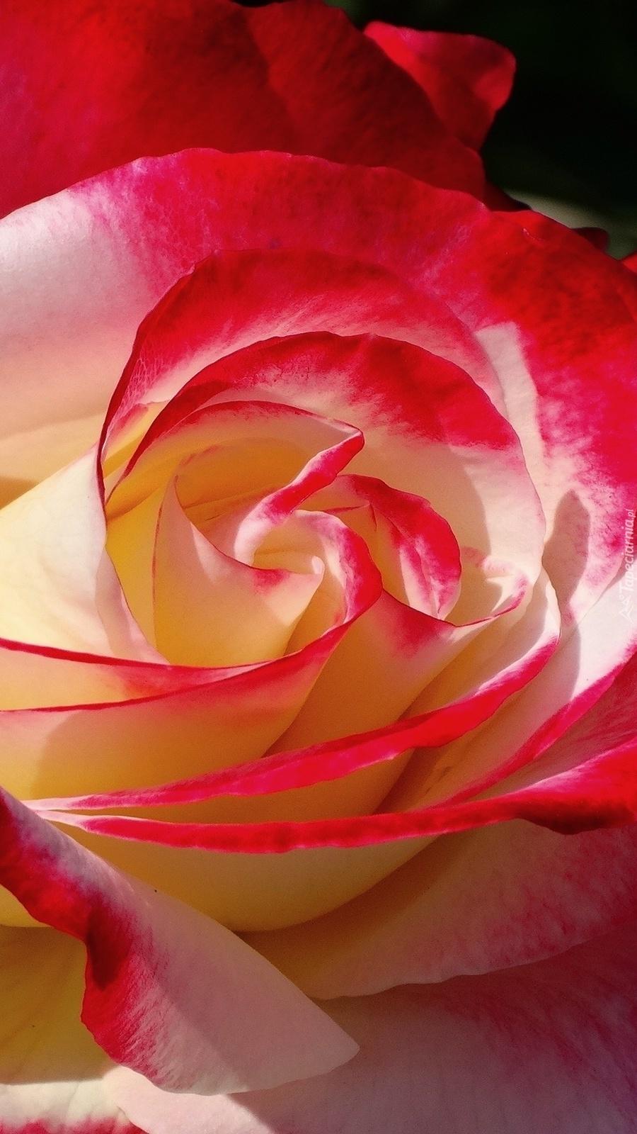 Rozkwitająca róża