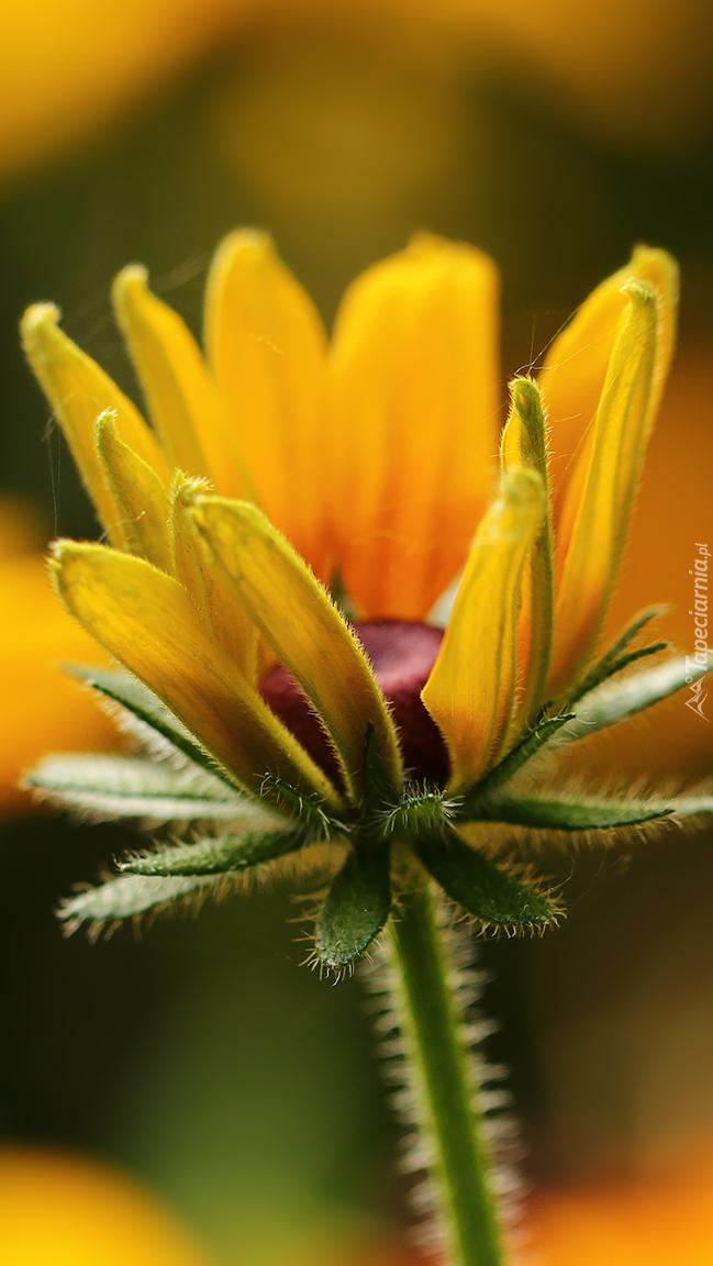 Rozkwitająca żółta rudbekia