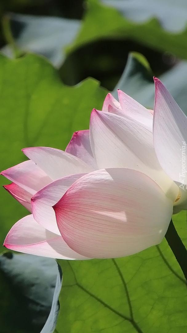 Rozkwitający lotos