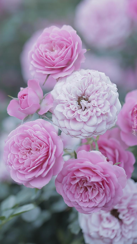 Rozkwitnięte róże