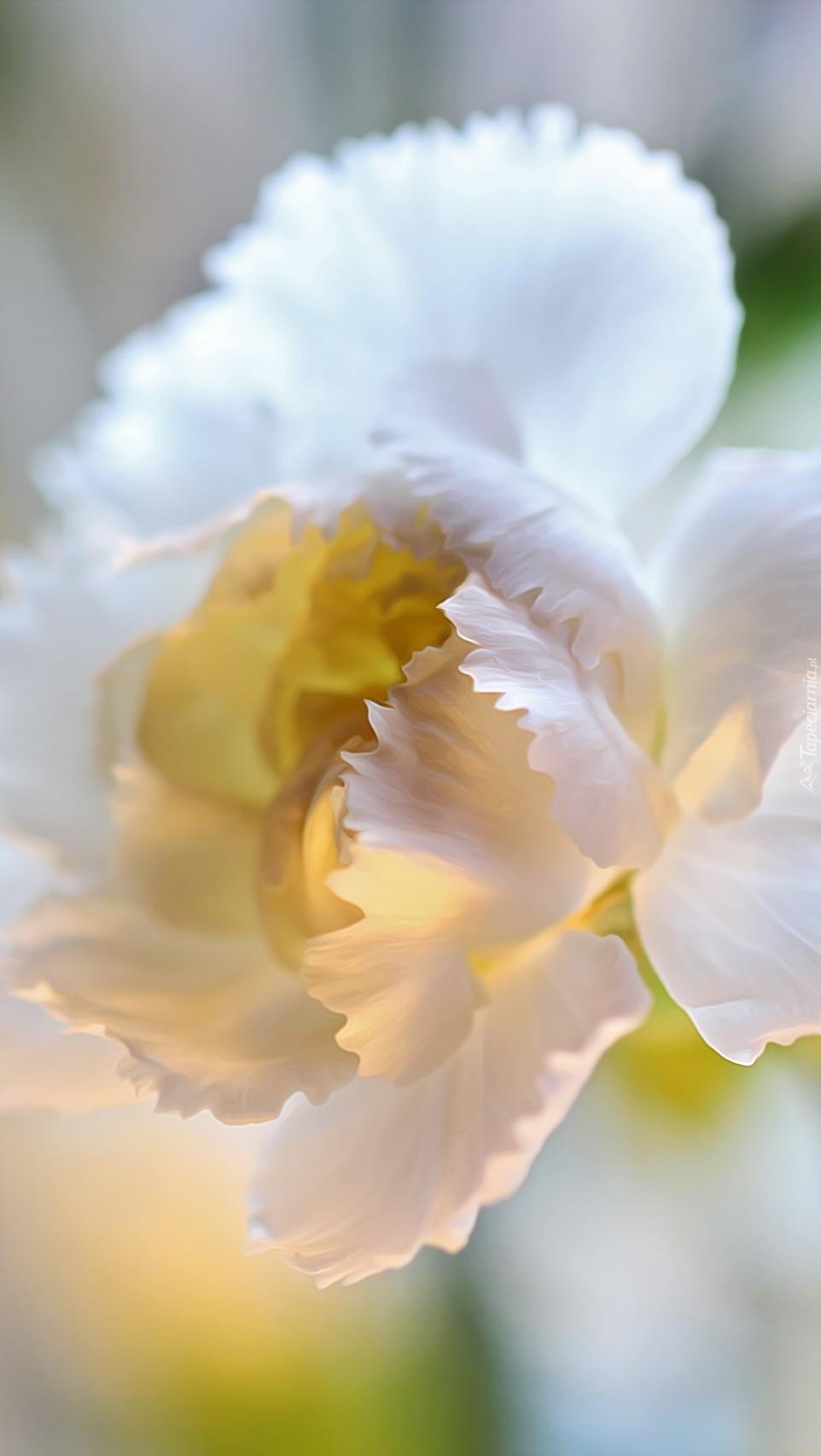 Rozkwitnięty kwiat goździka