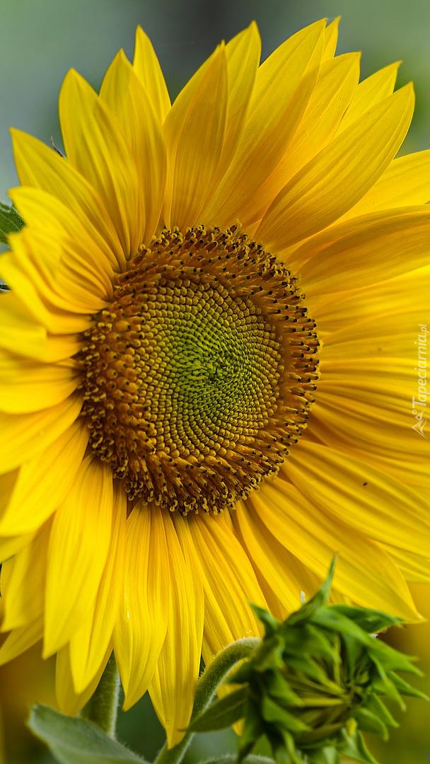 Rozkwitnięty słonecznik z pąkiem