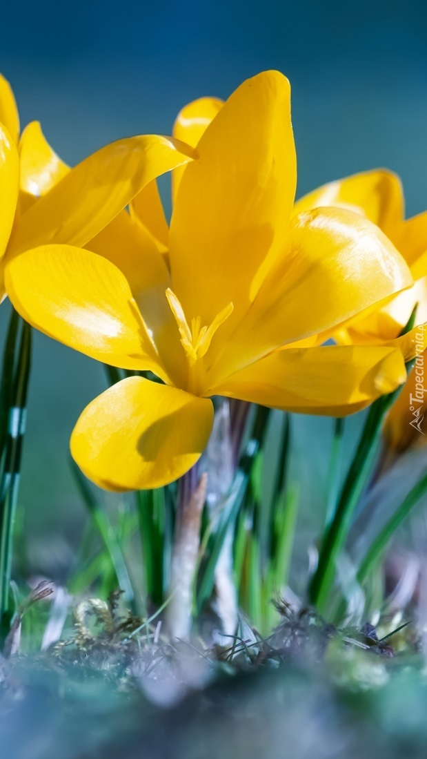 Rozkwitnięty żółty krokus