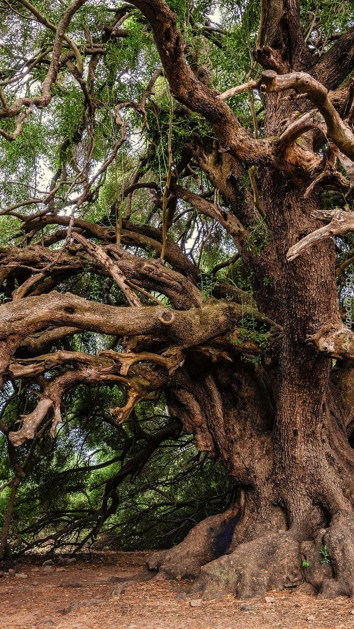 Rozłożyste stare drzewo