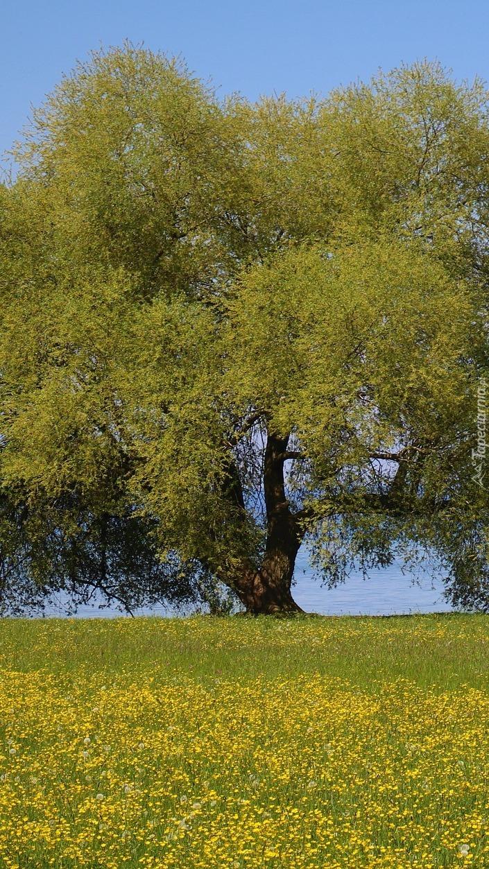 Rozłożyste zielone drzewo
