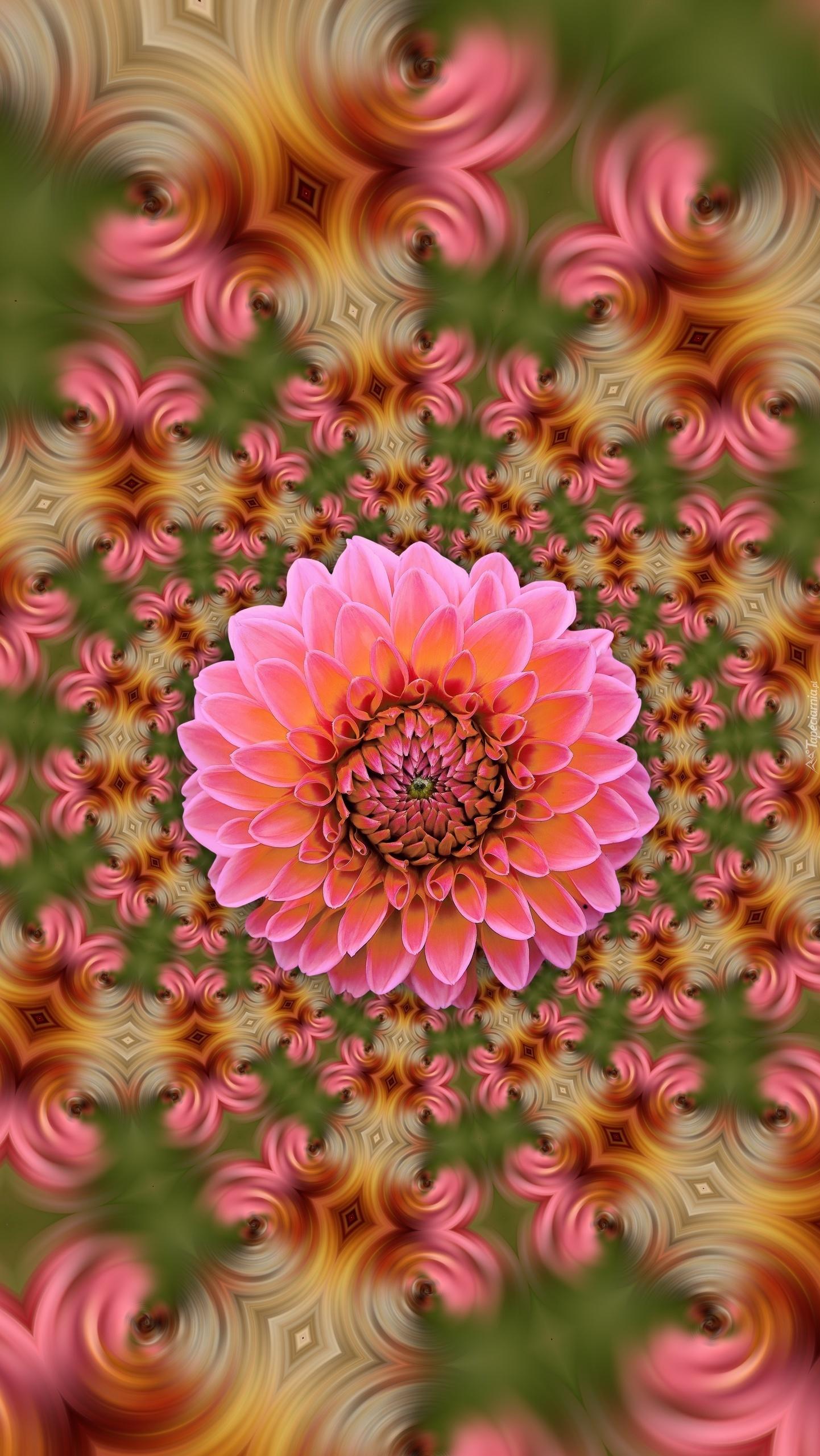 Różowa dalia na kolorowym tle