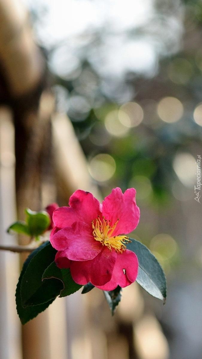 Różowa dzika róża