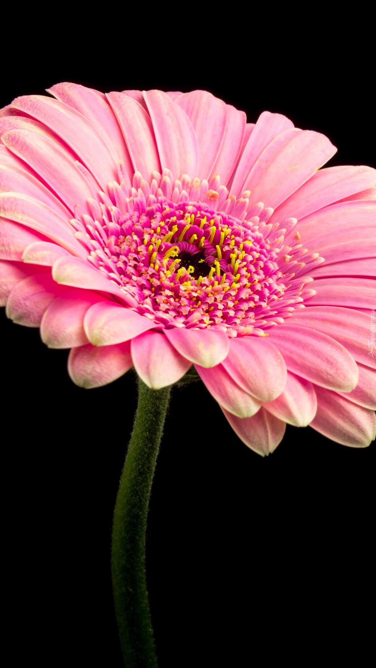 Różowa gerbera