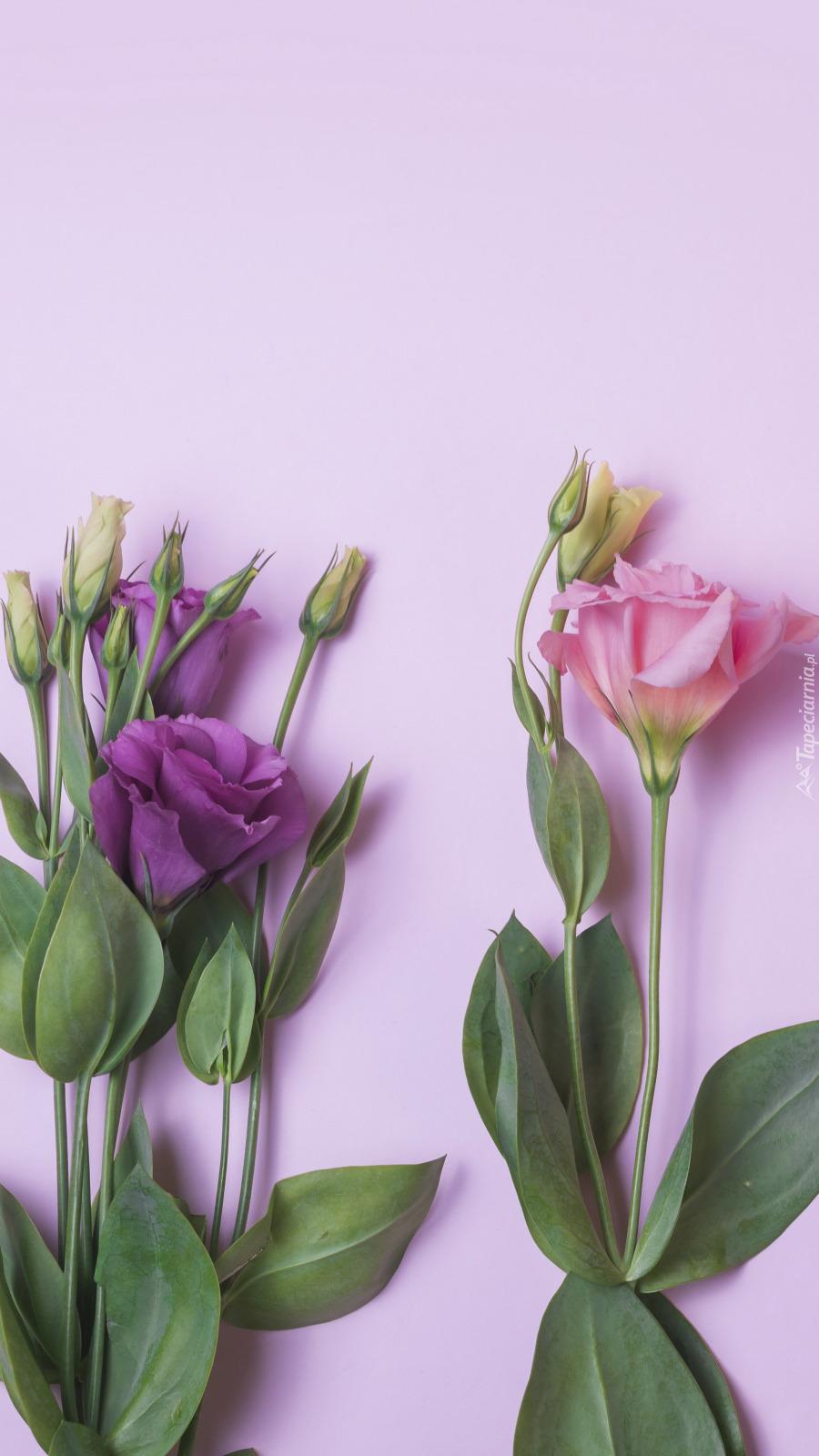 Różowa i fioletowa eustoma