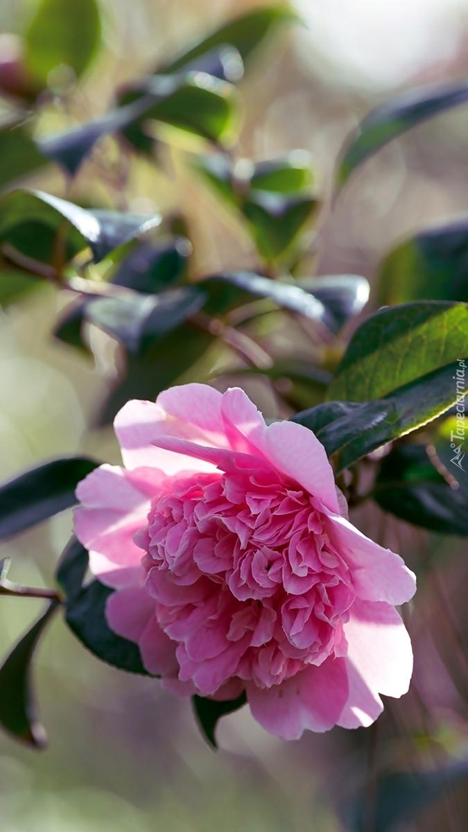 Różowa kamelia japońska