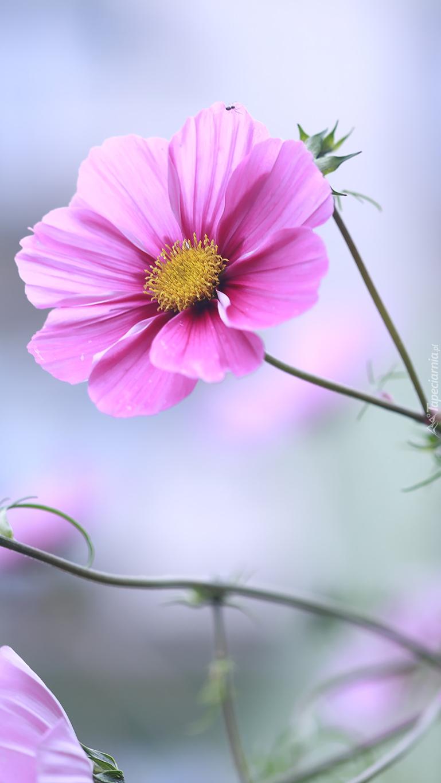 Różowa kosmea