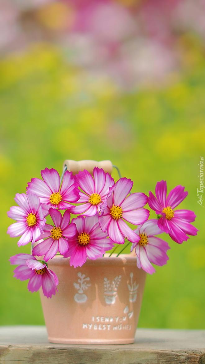 Różowa kosmea w wazoniku