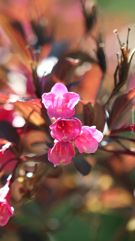 Różowa krzewuszka