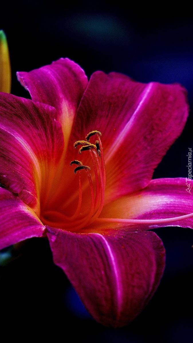 Różowa lilia ogrodowa