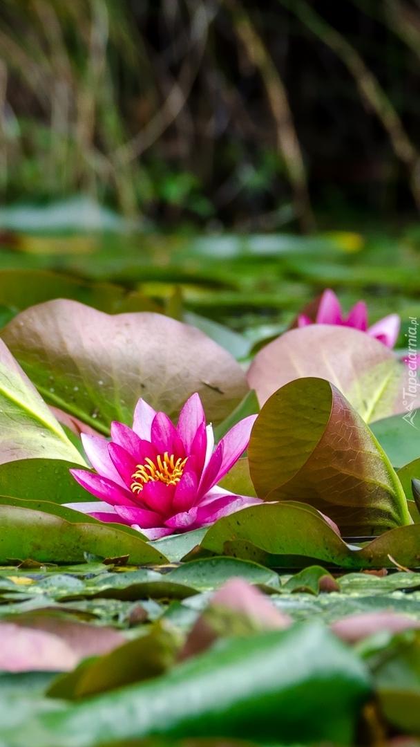Różowa lilia wodna