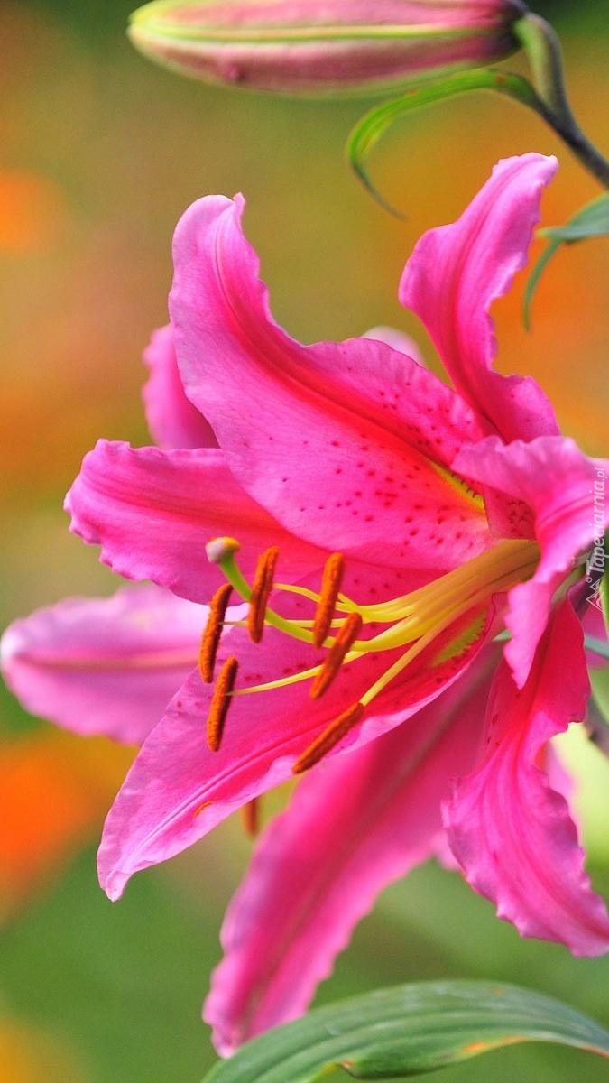 Różowa lilia