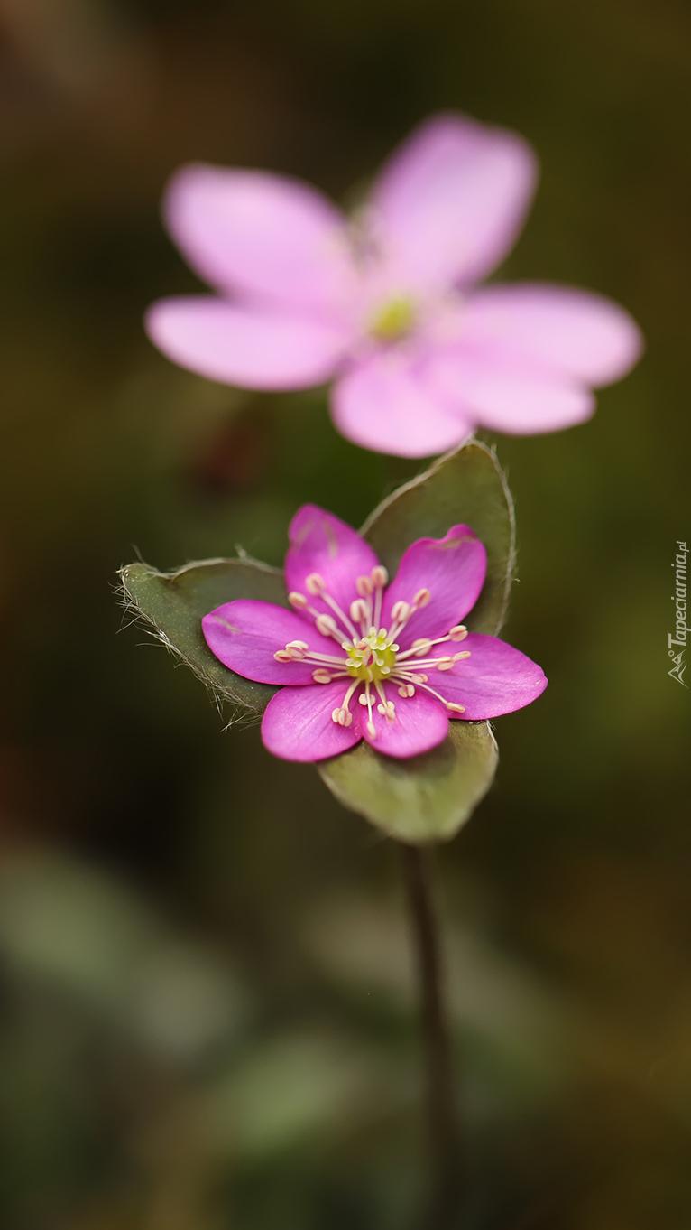 Różowa przylaszczka