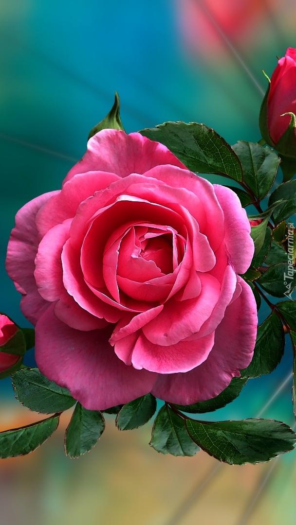 Różowa róża w grafice