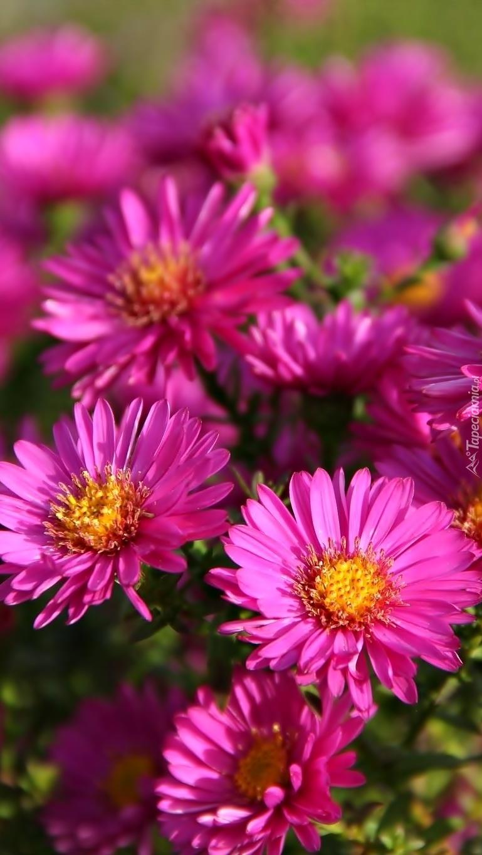 Różowe astry