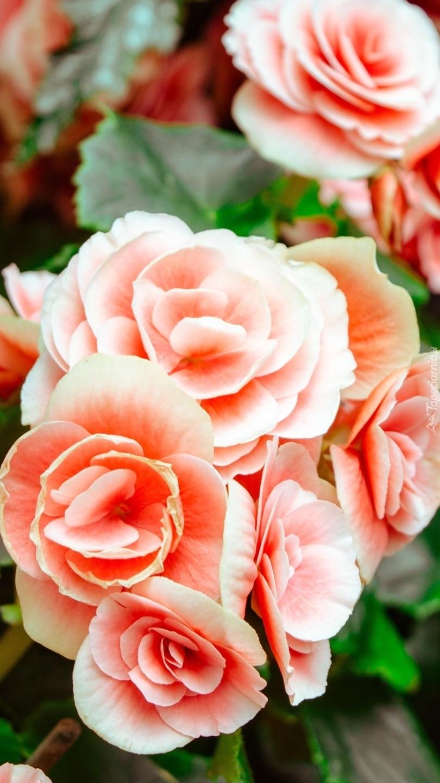 Różowe begonie bulwiaste