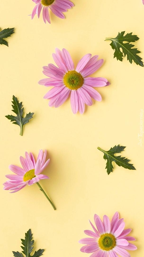 Różowe chryzantemy i zielone listki