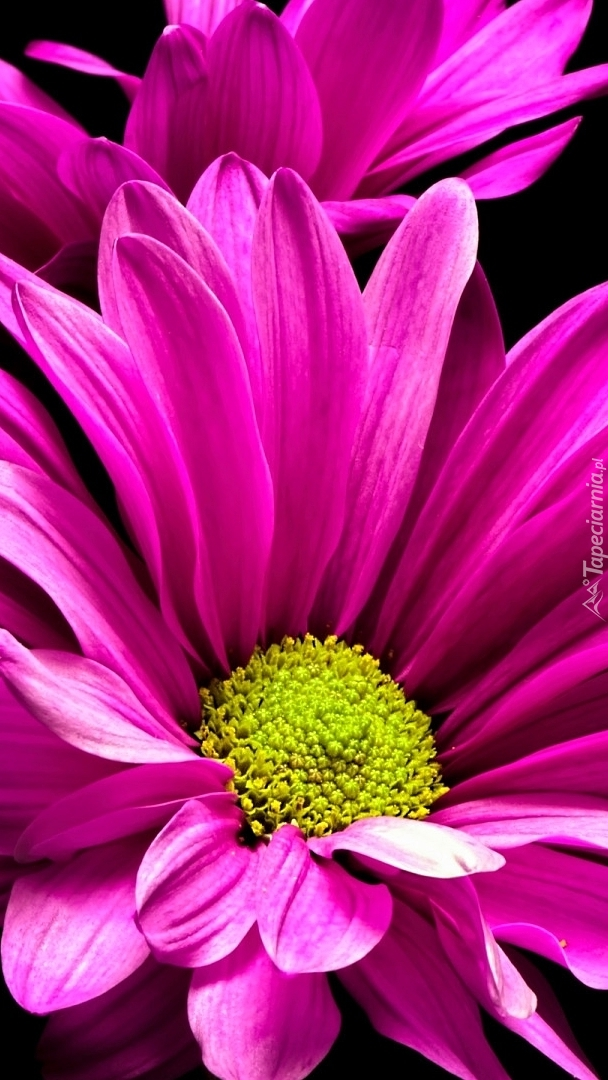 Różowe chryzantemy