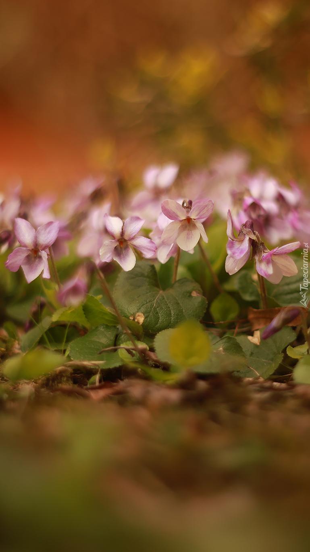 Różowe fiołki z liśćmi