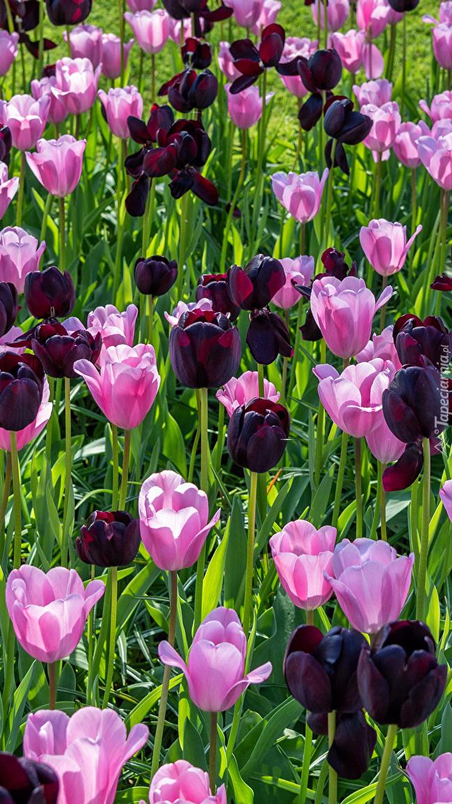Różowe i bordowe tulipany