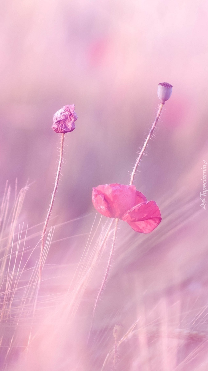 Różowe i fioletowe maki polne