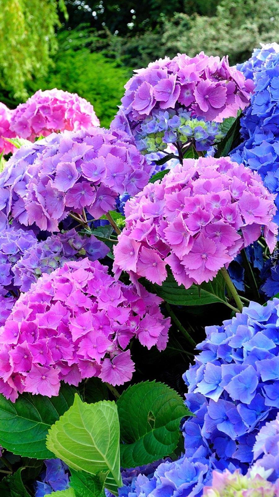 Różowe i niebieskie hortensje