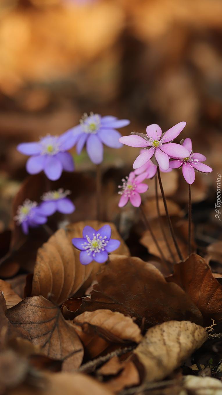 Różowe i niebieskie przylaszczki