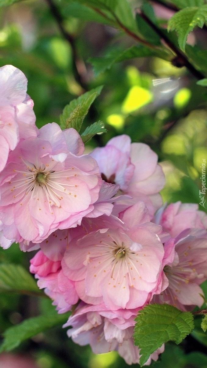Różowe kwiatki drzewa owocowego