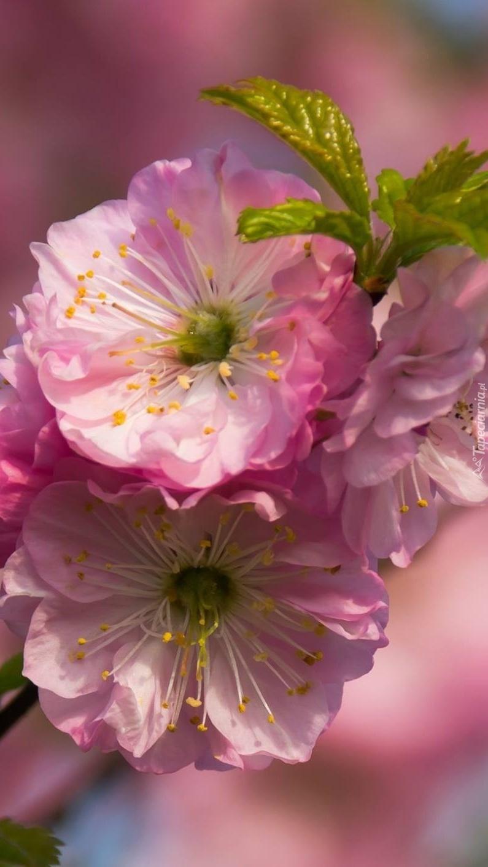 Różowe kwiatki migdałowca