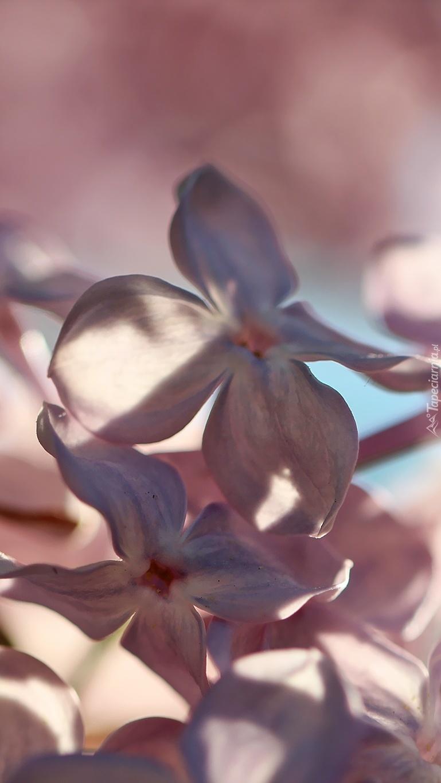 Różowe kwiaty bzu