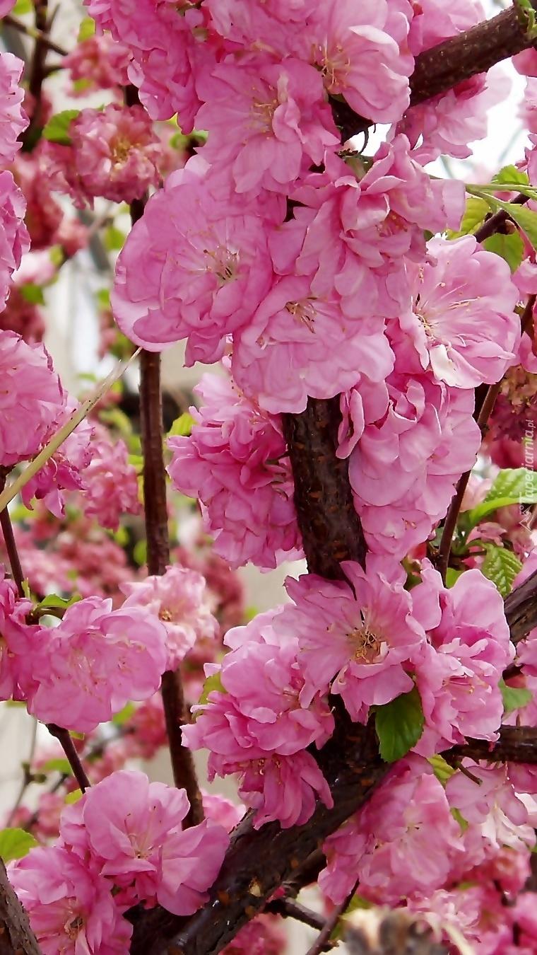 Różowe kwiaty drzewa brzoskwiniowego