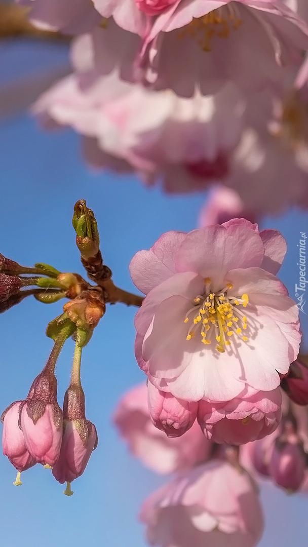 Różowe kwiaty drzewa owocowego