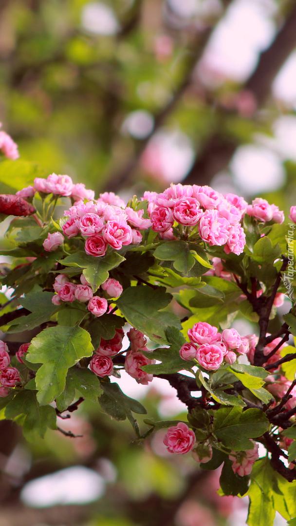 Różowe kwiaty głogu