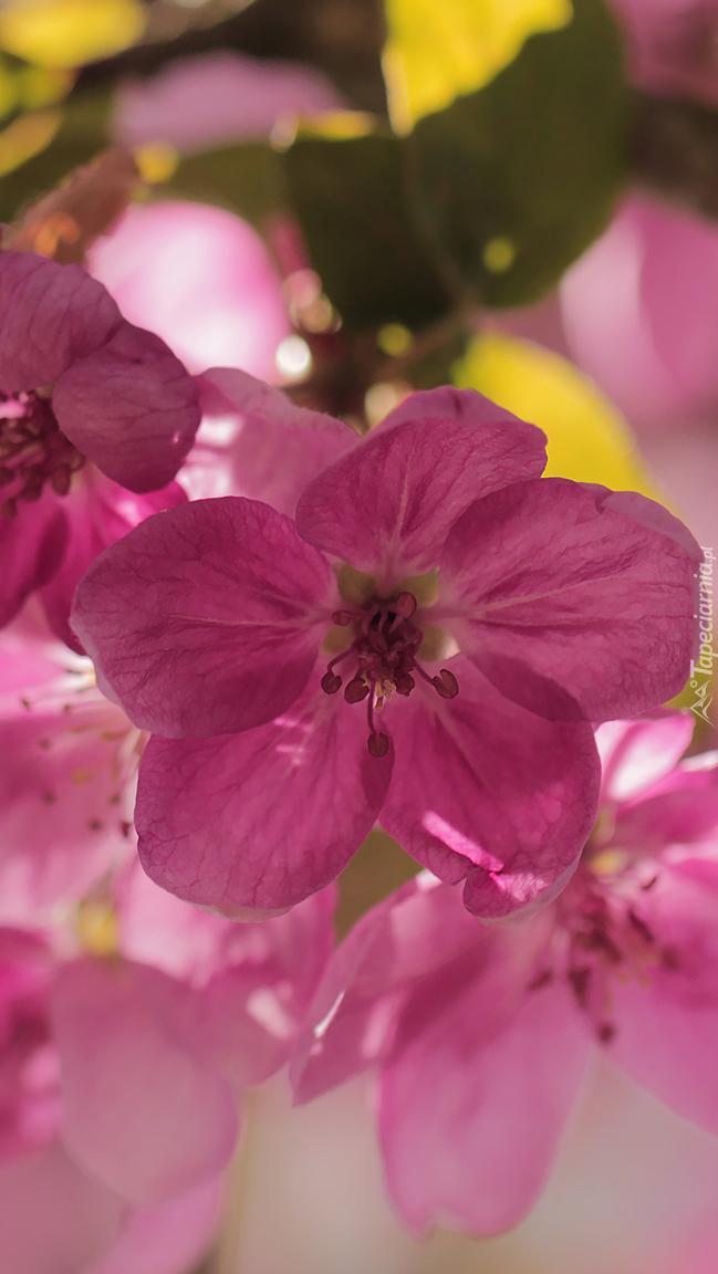 Różowe kwiaty jabłoni
