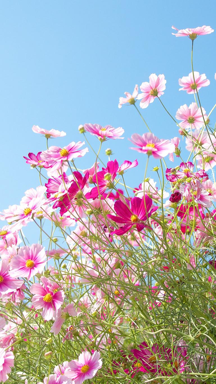 Różowe kwiaty kosmei na tle nieba
