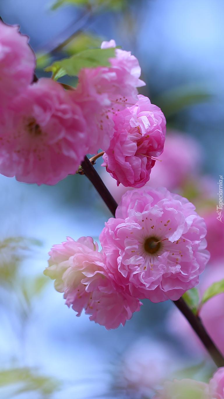 Różowe kwiaty migdałka