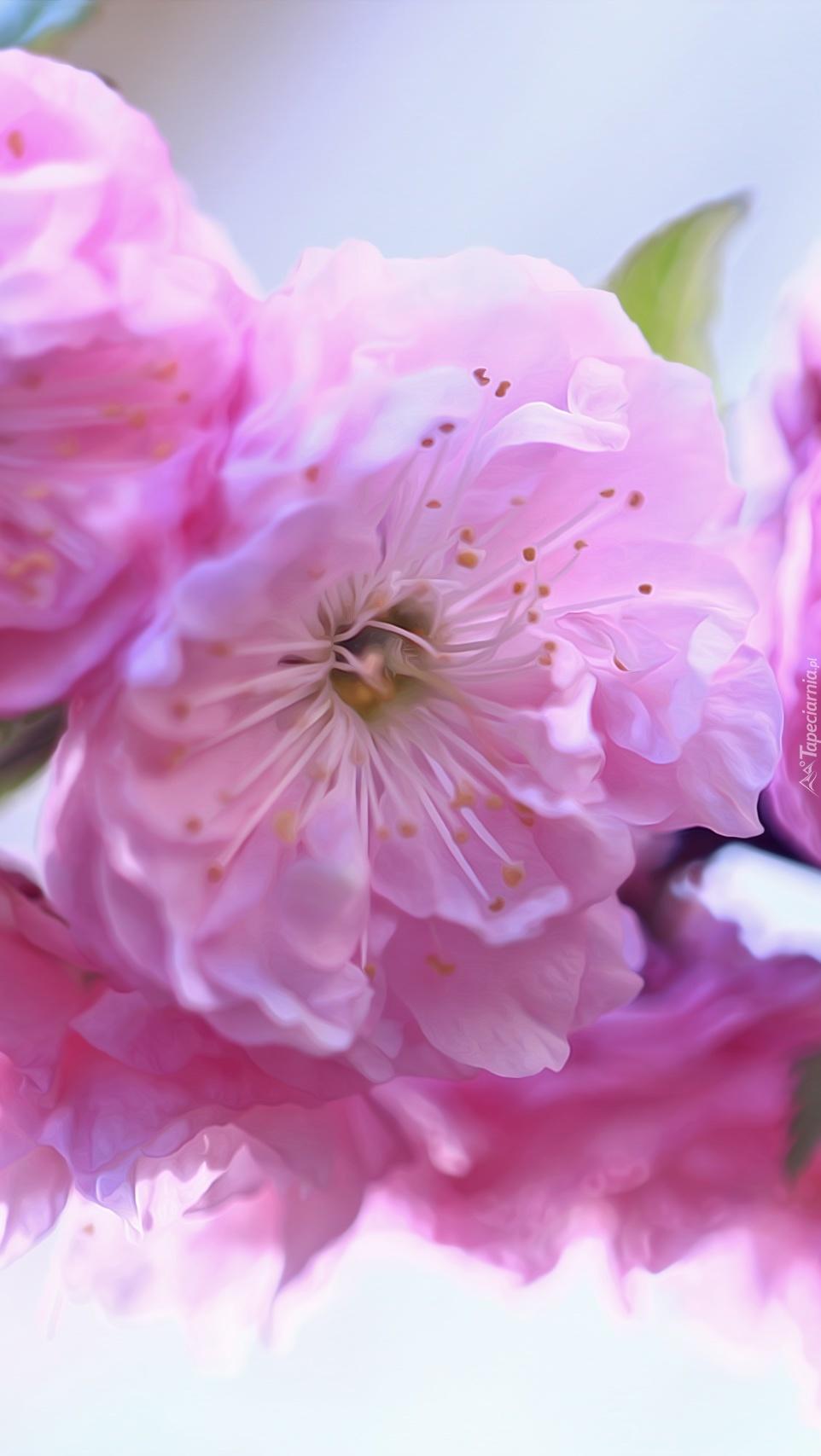 Różowe kwiaty migdałowca